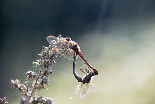 Damesfly, Insect, Mating, Dragonfly, Detailed, Outdoor