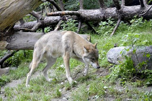 Wolf, Track, Canis Lupus, Wild Animal, Dangerous