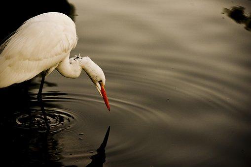 Great White Egret, Fishing, Eating, White, Egret, Great