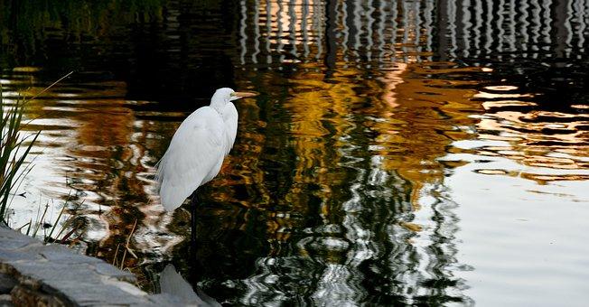 Egret, Standing, Water, Bird, White, Avian, Marsh