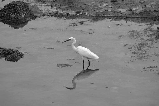 Egret, Bird, Animal, Fauna, Wader, White, Water, Wild
