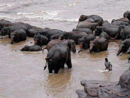 Sri Lanka, Pinawella, Elephant, Bath