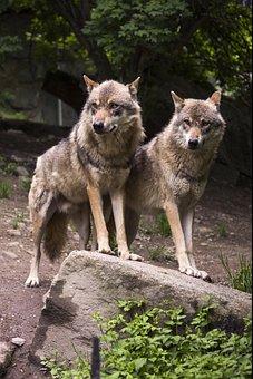 Wolf, Wolves, European Wolf, Canis Lupus, Predator, Zoo