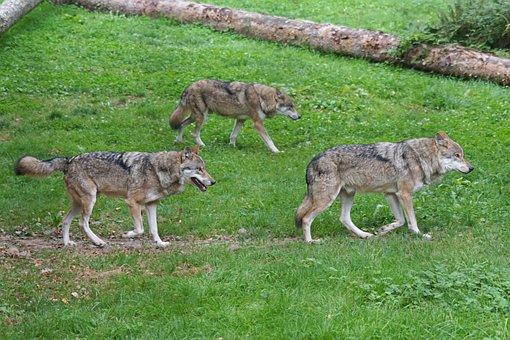 Wolf, Wolves, Predator, Carnivores, European Wolf