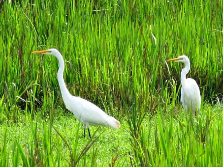 Great Egret, Bird, Fauna, Birds, Nature, Tropical Birds