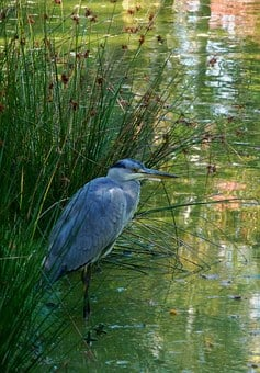 Fishing, Grey Beige, Heron, Egret, Swamp, Trueb