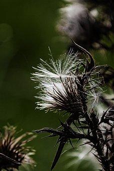 Thistle, White, Silver Thistle, Plant, Prickly, Flora