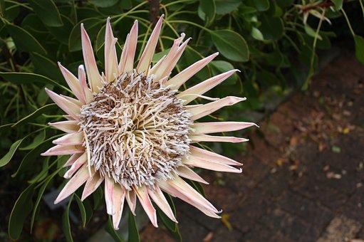South Africa, Kirstenbosch, Flower, Cape Town