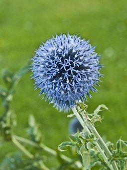 Thistle, Ornamental Thistle, Flower, Field, Meadow