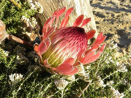 Protea, Flower, King Protea, Protea Cynaroides