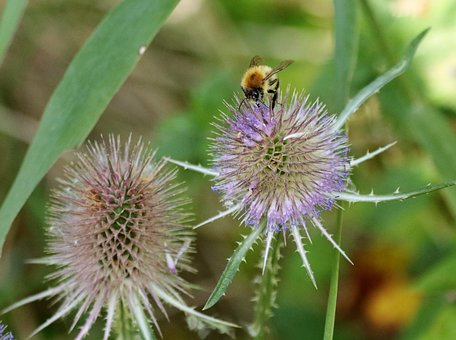 Thistle, Bee, Spiky, Plant, Nature, Flower, Flora