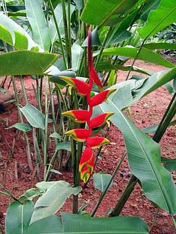 Sri Lanka, Heliconia, Flower, Exotic, Red, Exotic Plant