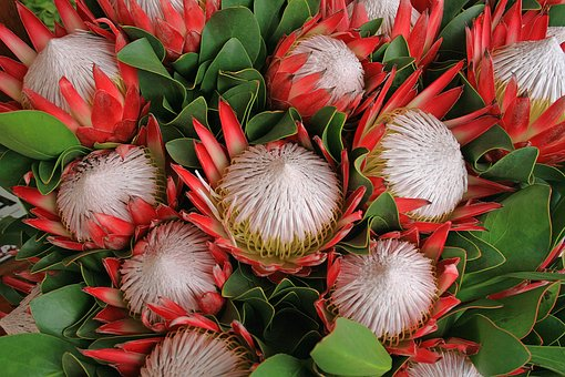 Protea Flowers, Flowers, Proteas, Pink, Plant, Africa