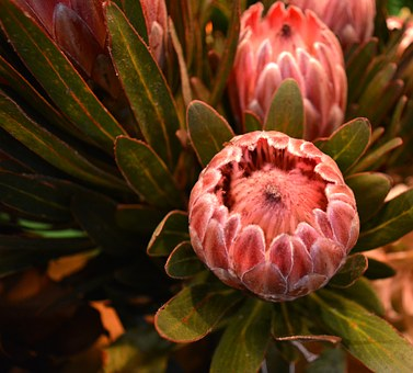 Proteas, Flowers, Exotic, Garden, Nature, Plant, Rosa