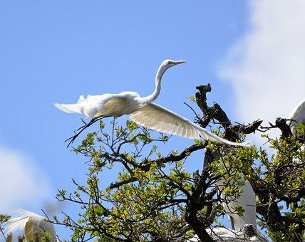 White Heron, Heron, Egret, Bird, Nesting, Nest, Flying