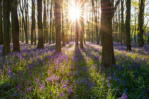 Bluebell, Forest, England, Spring, Nature, Landscape