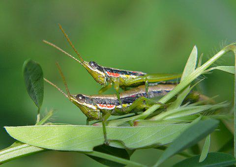 Grasshoppers, Insects, Couple, Two, Mating, Duet