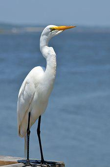 Great White Egret, Bird, Avian, Wildlife, Egret, Animal