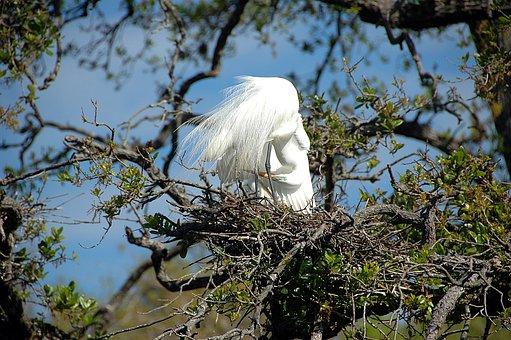 Great White Heron, Egret, Bird, Avian, Nesting, Nest