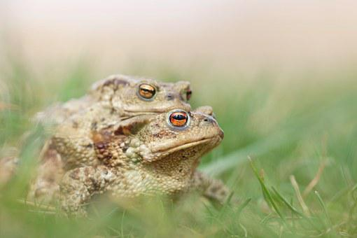 Mating, Frog, Toad, Nature, Love, Green, Animals