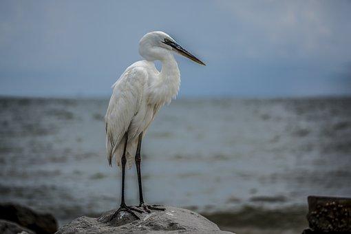 Egret, White Bird, Beach, Wildlife, Gulf Of Mexico