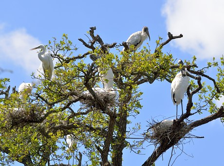 Wood Stork, Heron, Wildlife, Outdoors, Nesting, Nest
