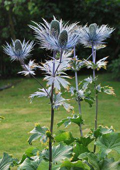 Nature, Scotland, Silver Thistle, Highlands, Flowers