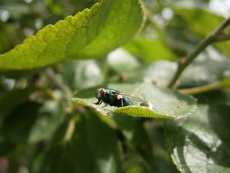 Fly, House Fly, Insect, Common House Fly, Housefly