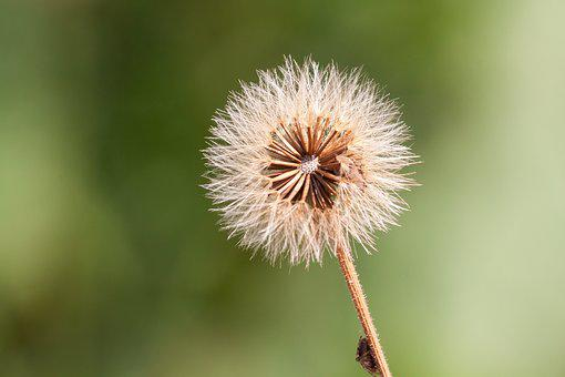 Infructescence, Seeds, Ball, Thistle, Nature, Spider