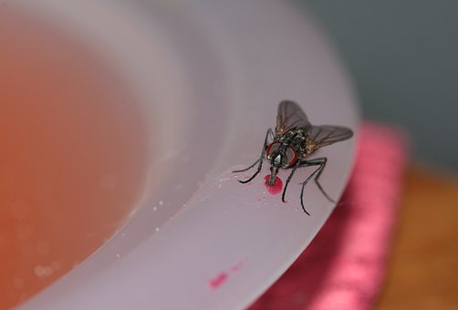 Common House Fly, Fly, Housefly, Insect, Close, Whopper