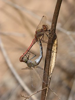 Dragonflies, Couple, Copulation, Insects Mating, Mating