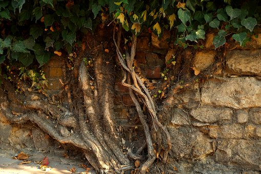 Ivy, Plant, Green, Leaves, Climber Plant, Nature