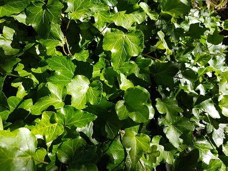 Ivy, Leaves, Green, Pattern, Common Ivy, Ivy Leaf, Leaf