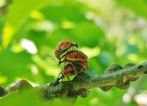 Ladybug, Ladybird, Lady Beetle, Harlequin Beetle, Bug