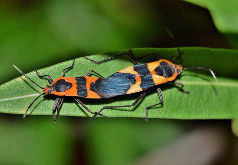 Large Milkweed Bug, Bug, Insect, Black And Orange