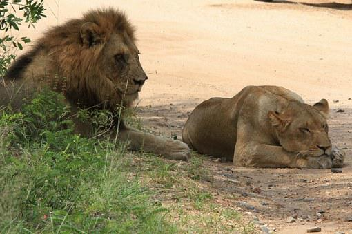 Lions, Leone, Leõs Mating, Mating, Casal