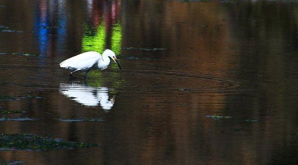 Egret, Great Egret, Little Egret, Marsh Bird