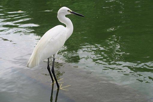 White Heron, Little Egret, Bird, Seaside