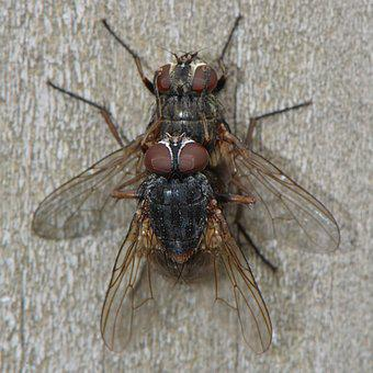 Fly, Mate, Insects, Animals, Propagation, Macro, Wings