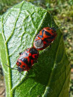 Eurydema Ornata, Red Bug, Copulation, Mating