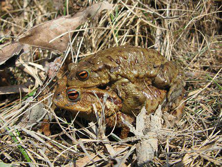 Toad, Frog, Brown, Mating, Amphibian, Slimy, Wet, Moist