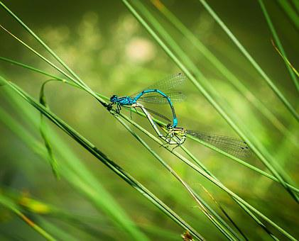Dragonfly, Pairing, Dragonflies Mating, Multiplication
