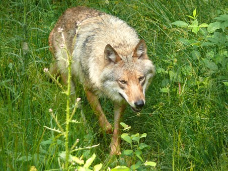 Wolf, Predator, Canis Lupus, Hunter, Nature, Animal