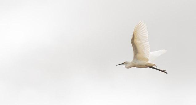 Madagascar, Great Egret, Bird, Fly, Nature, Heron