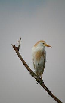 Cattle Egret, Birds, Nature