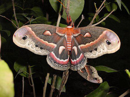 Moth, Cecropia, Mating, Wildlife, Nature