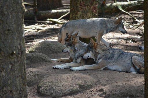 Wolves, Wolf Pack, Wild Animal, Predator, Pack Animal