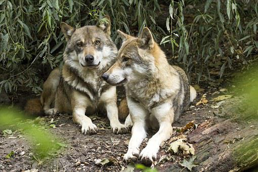 Wolf, Canis Lupus, European Wolf, Predator, Pack