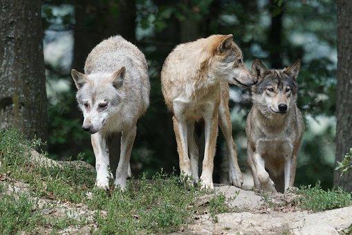 Timber Wolves, Wolves, Family, Pack