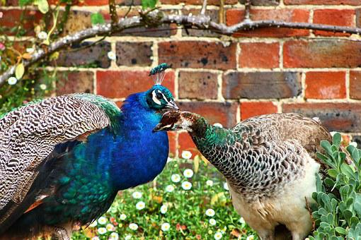 Peacock, Bird, Nature, Blue, Green, Feather, Animal